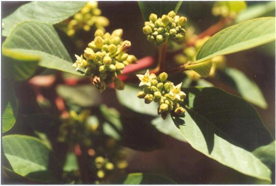 Picture of Rhamnus californica