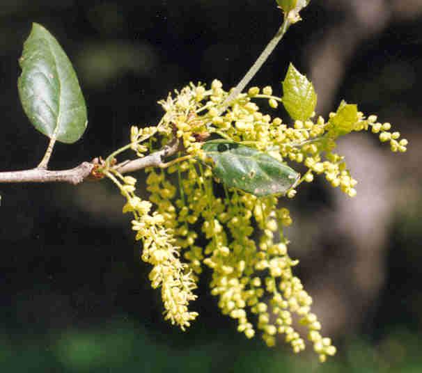 Picture of Quercus agrifolia