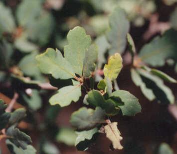 Picture of Quercus douglasii