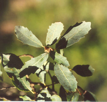 Picture of Quercus engelmannii