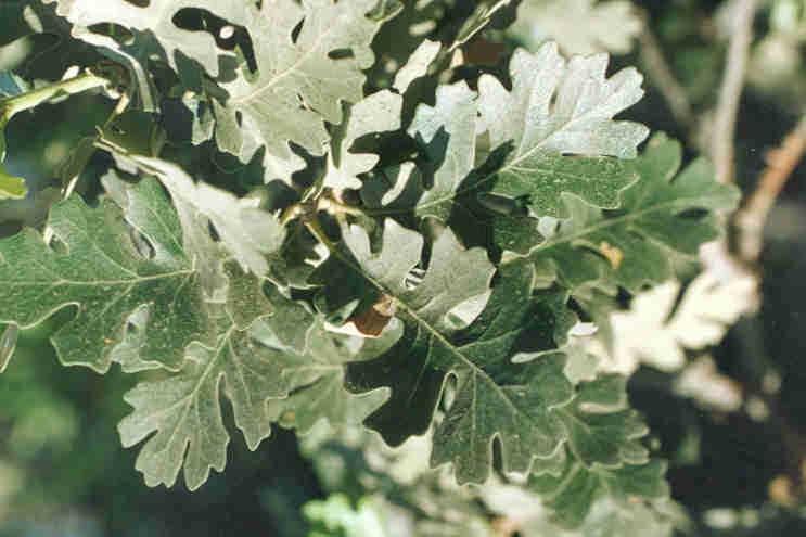 Picture of Quercus lobata