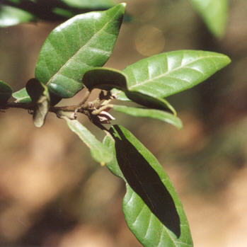 Picture of Quercus tomentella