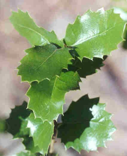 Picture of Quercus wislizenii