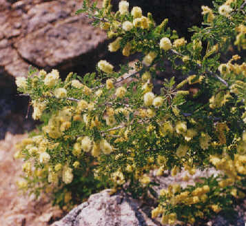 Picture of Prosopis pubescens