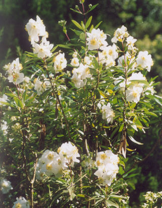 Picture of Carpenteria californica