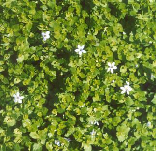 Picture of Pratia pedunculata