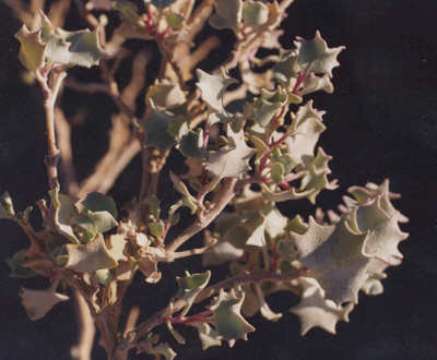 Picture of Atriplex hymenelytra