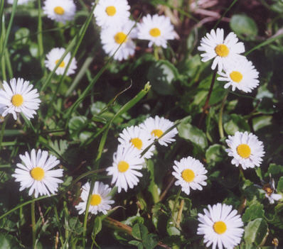 Picture of Bellis perennis