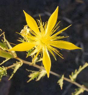 Picture of Mentzeilia laevicaulis
