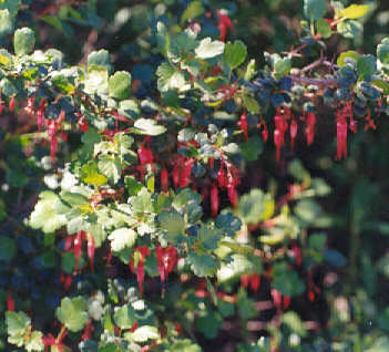 Picture of Ribes speciosum