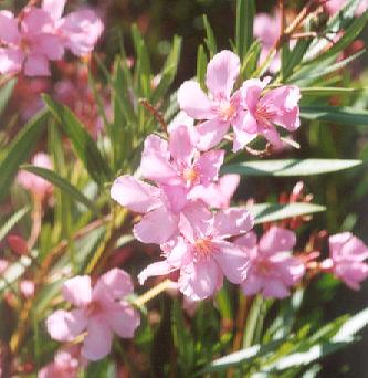 Picture of Nerium oleander