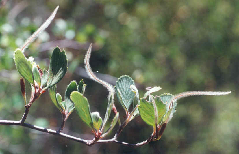 Picture of Cercocarpus betuloides