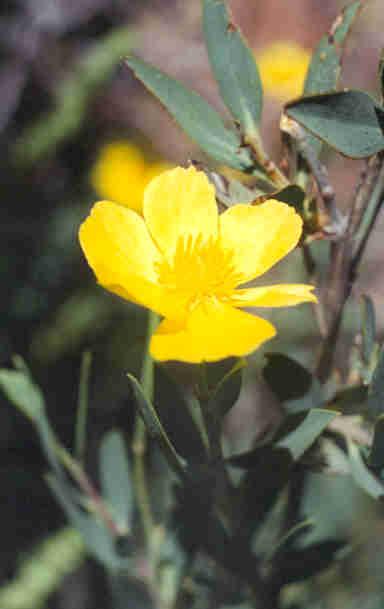 Picture of Dendromecon rigida