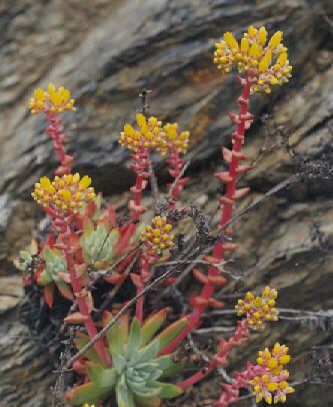Picture of Dudleya farinosa