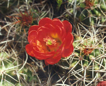 Picture of Echinocereus triglochidiatus