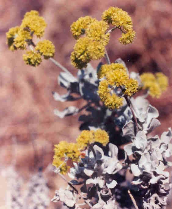 Picture of Eriogonum crocatum