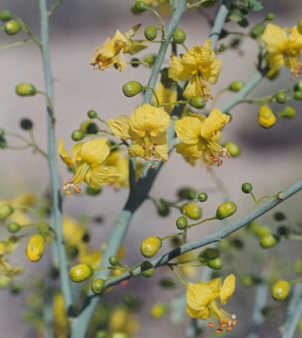 Picture of Cercidium floridum