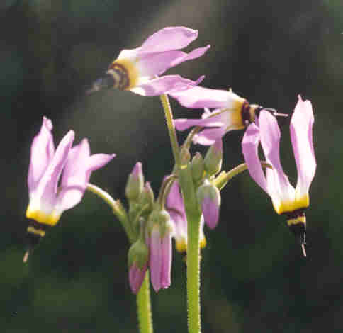 Picture of Dodecatheon clevelandii