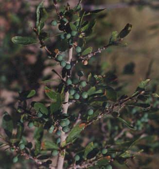 Picture of Forestiera pubescens