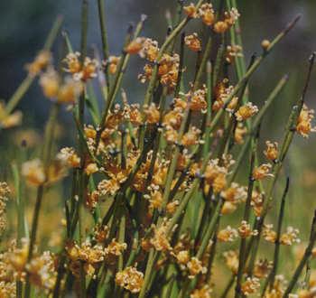 Picture of Ephedra viridis