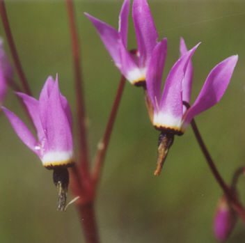 Picture of Dodecatheon hendersonii