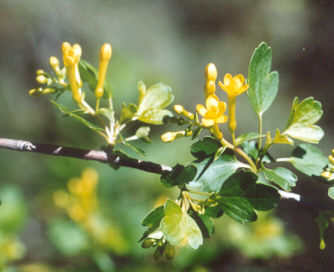 Picture of Ribes aureum