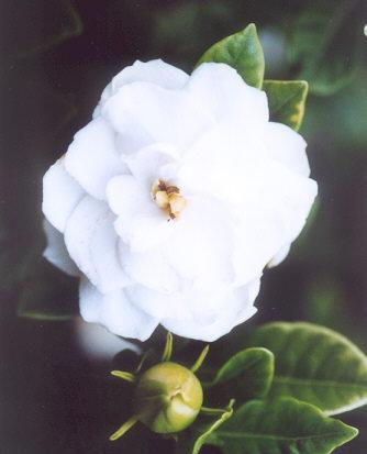 Picture of Gardenia augusta var. veitchii