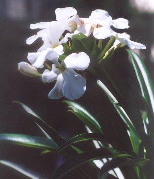Picture of Pachypodium lamerei
