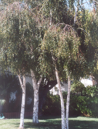 Picture of Betula pendula