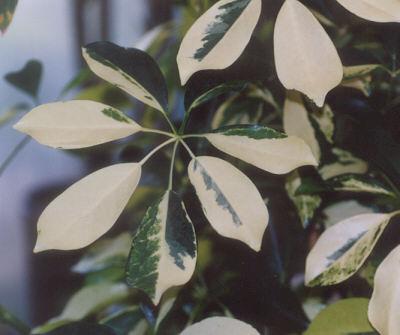 Picture of Schefflera sp.