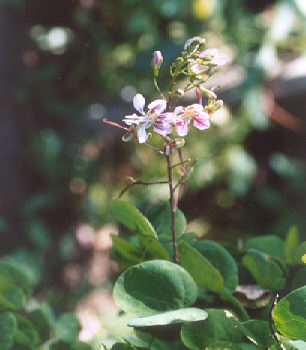 Picture of Bauhinia corymbosa