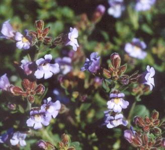 Picture of Chaenorrhinum organifolium