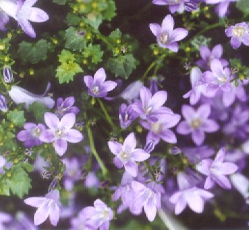 Picture of Campanula sp.