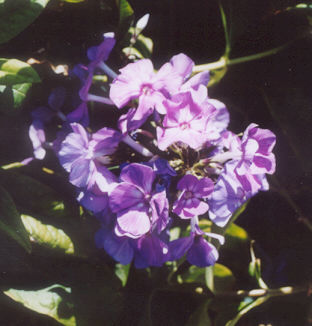 Picture of Phlox paniculata