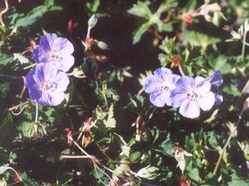 Picture of Geranium roseanne