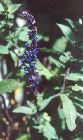 Picture of Salvia nemorosa
