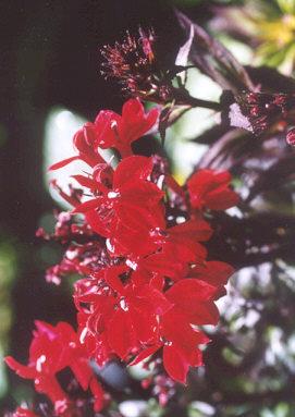 Picture of Lobelia x speciosa