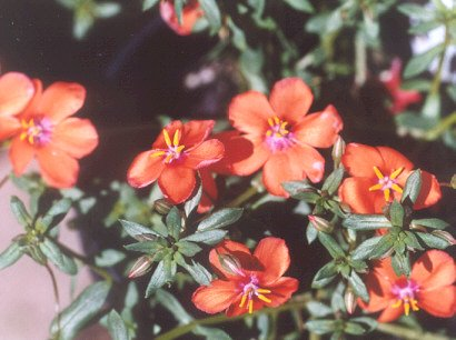 Picture of Anagallis hybrid