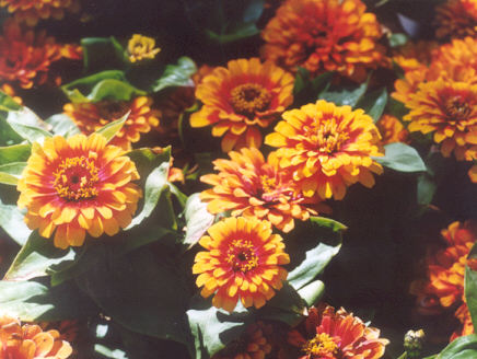 Picture of Zinnia hybrid