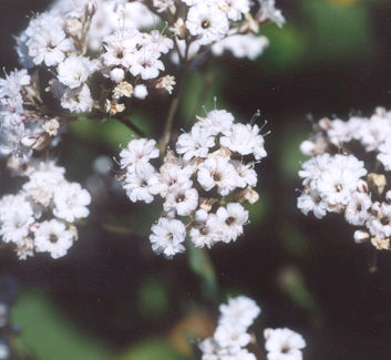 Picture of Gypsophila sp.