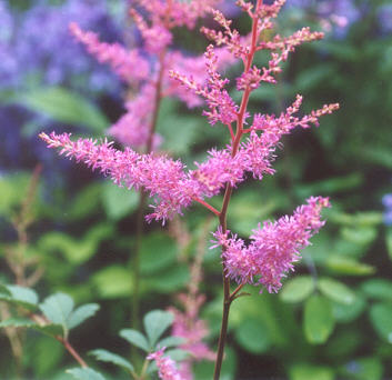 Picture of Astilbe thunbergii