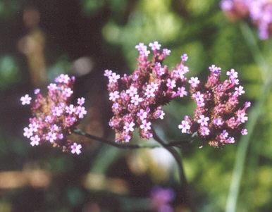 Picture of Verbena bonariensis