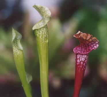 Picture of Sarracenia sp.
