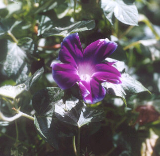 Picture of Ipomoea cameo