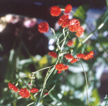 Picture of Emilia coccinea