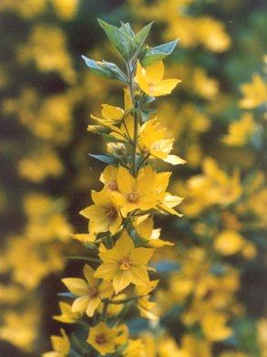 Picture of Lysimachia punctata