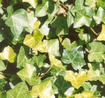 Picture of Hedera canariensis