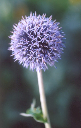 Picture of Echinops ritro