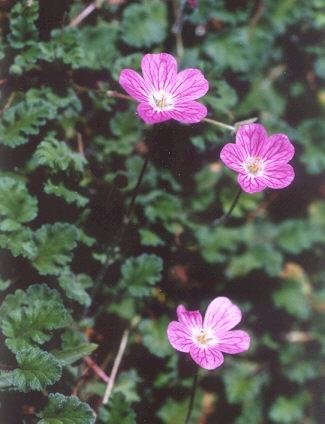 Picture of Erodium reichardii