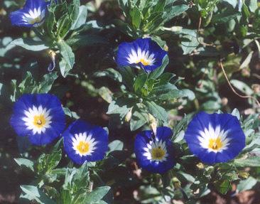 Picture of Convolvulus tricolor